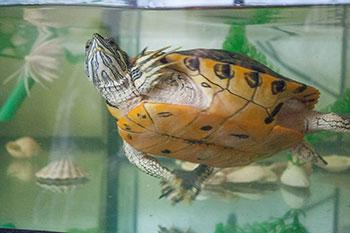 Aquaterrário: O Habitat Ideal para Tartarugas de Aquáticas 4