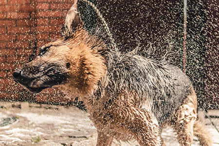 Cachorros sofrem com o calor! Cuidados e atenção! 11