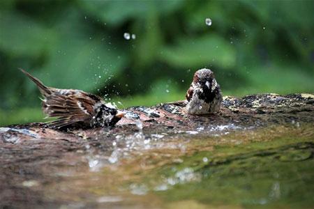 Como vivem os pardais 8